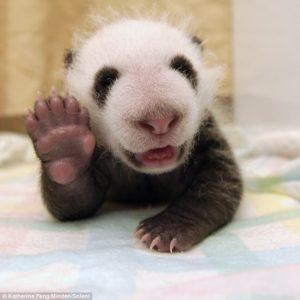 Ecco un esempio dello stare bene, il panda di 37 giorni felice di fare ciao con la sua zampina