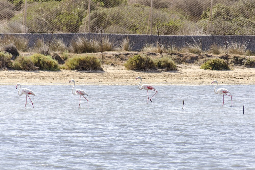 Fenicotteri rosa in Sardegna